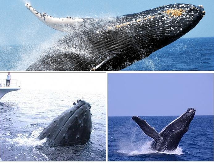 沖繩座間味島賞鯨